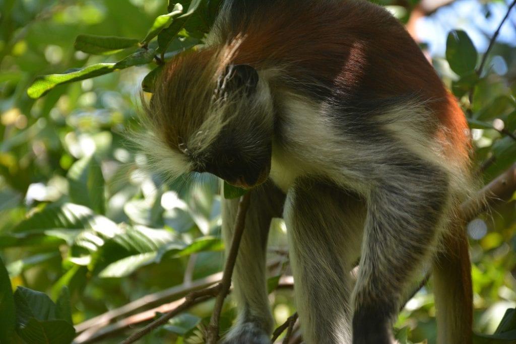 scimmie rosse zanzibar