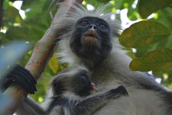 vedere scimmia rozza zanzibar