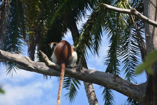 scimmie rosse zanzibar tanzania