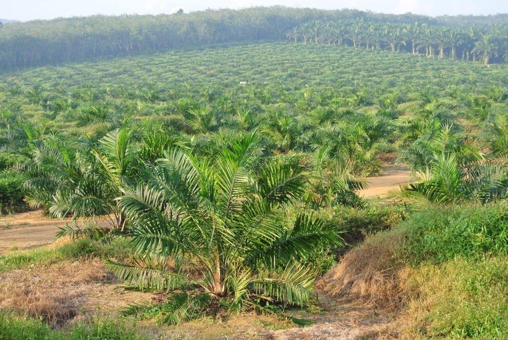 olio di palma e deforestazione