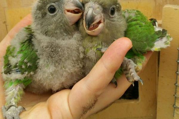 alimentazione pappagalli granivori