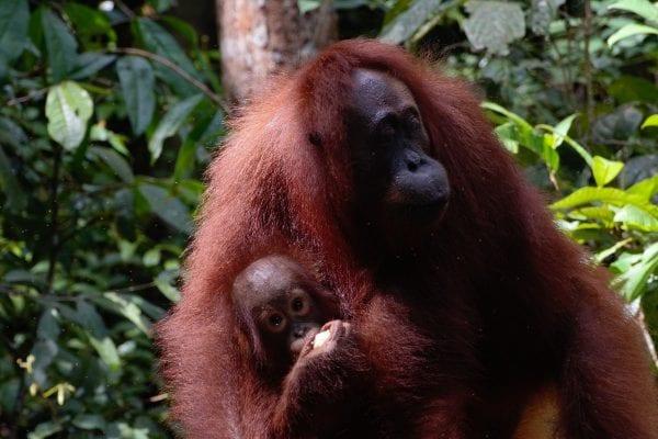 Orangotango borneo indonesiano