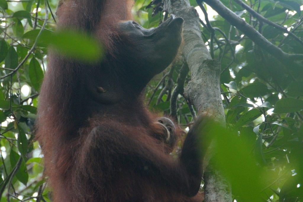 dove vedere gli oranghi