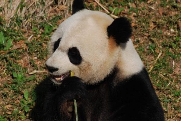 conservazione del panda