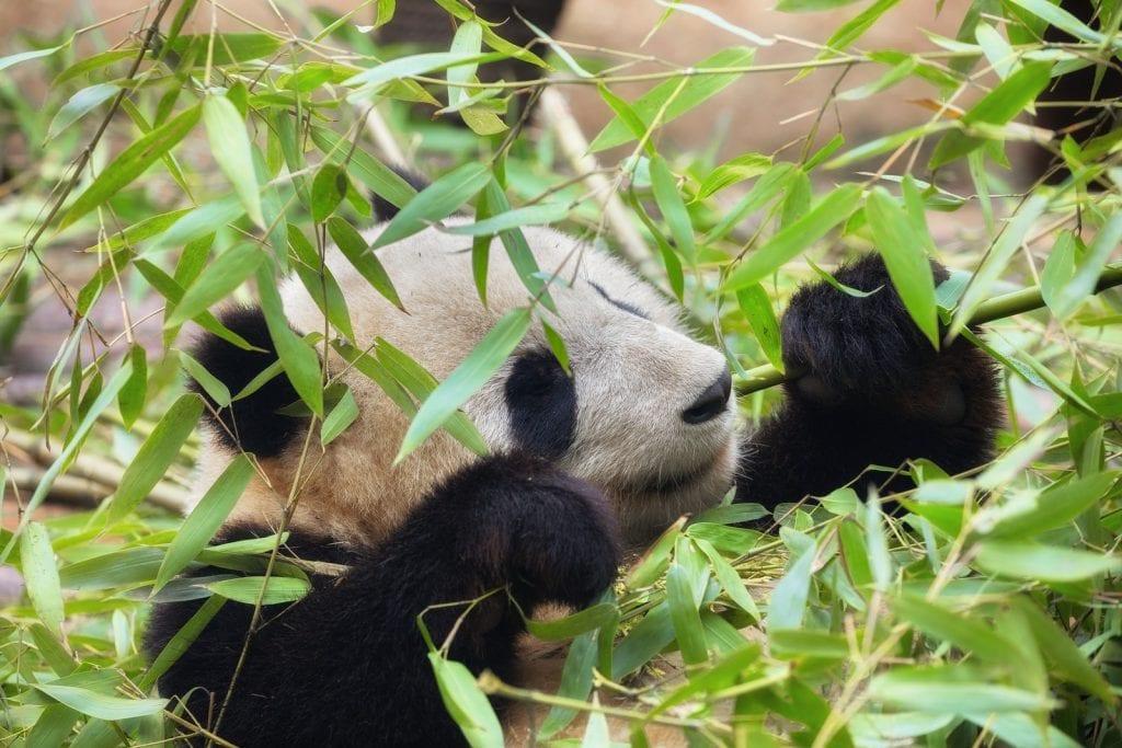 ecologia panda gigante