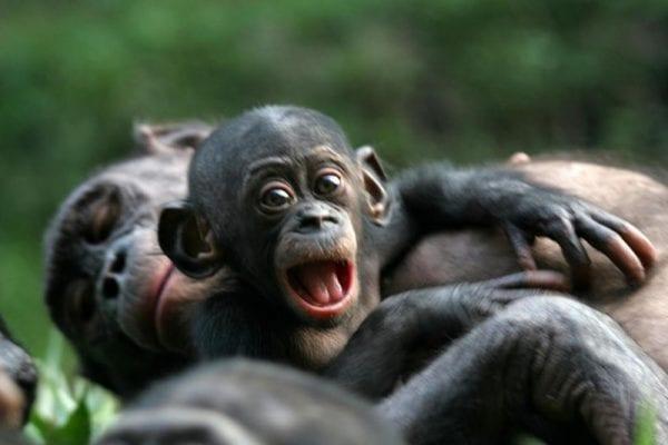 bonobo scimmia africana