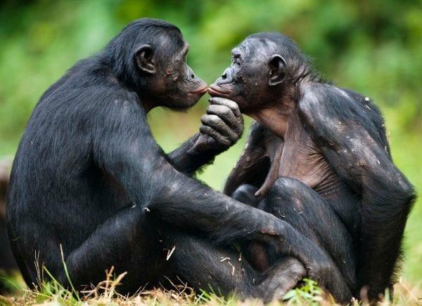 chi è il bonobo