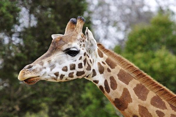 giraffa africana