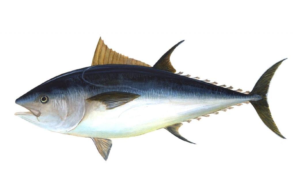 tonno rosso aspetto fisico