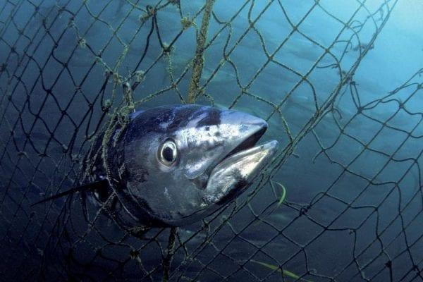 tonno rosso pericolo estinzione