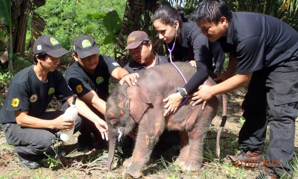 conservazione elefante borneo