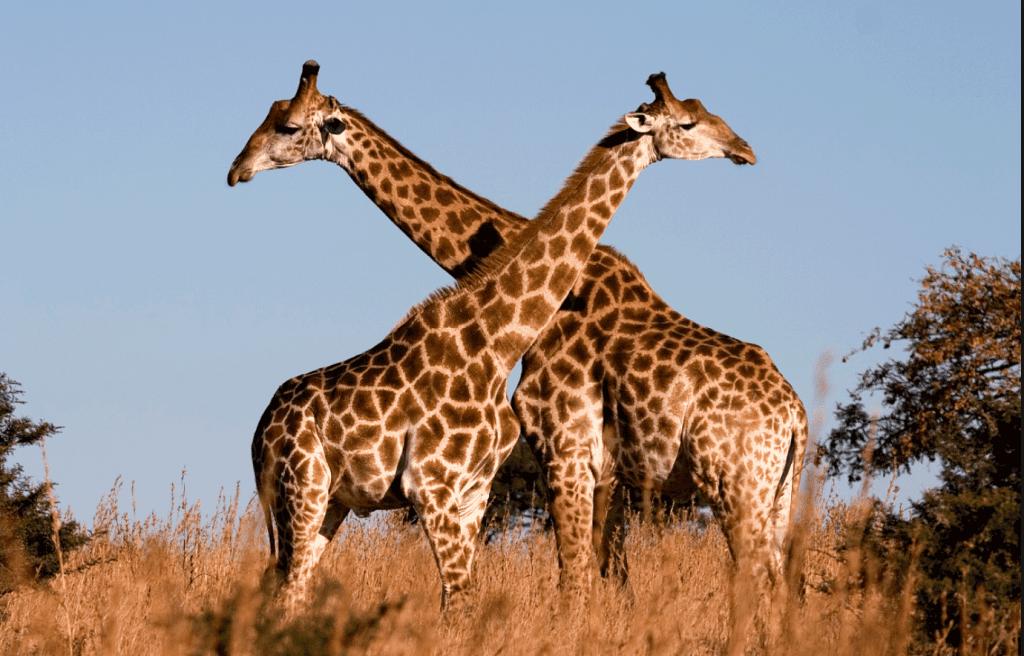 giraffe masai estinzione