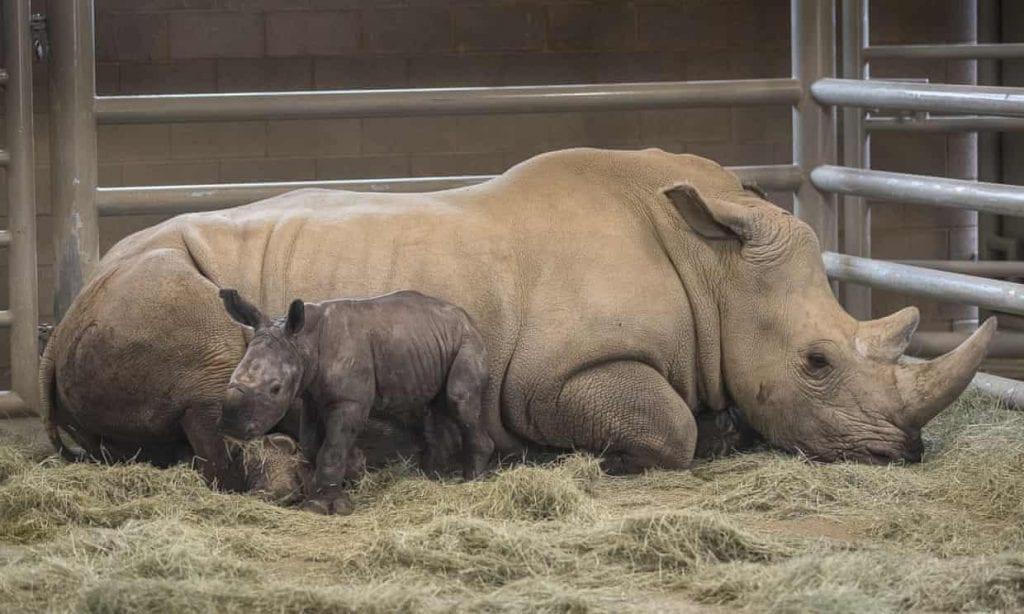 rinoceronte in provetta