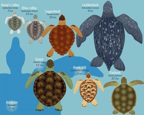 tartarughe marine cenni generali