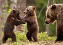 volontariato ambientale con orsi