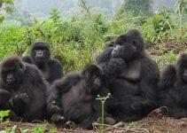 Volontariato ambientale con i gorilla