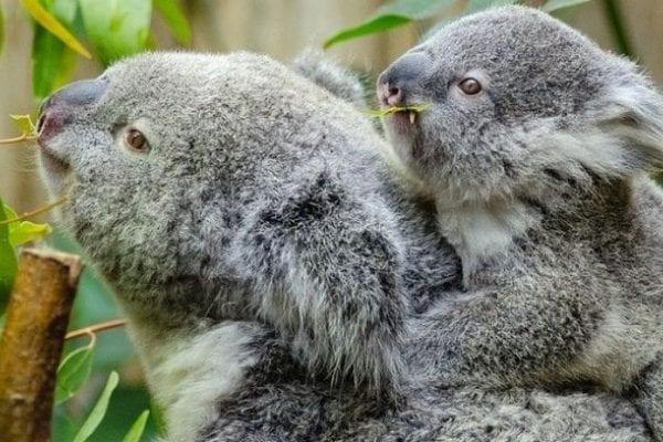 volontariato ambientale koala