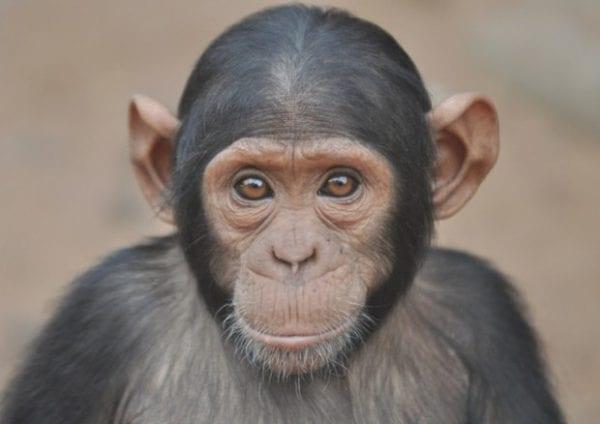 volontariato con gli scimpanze