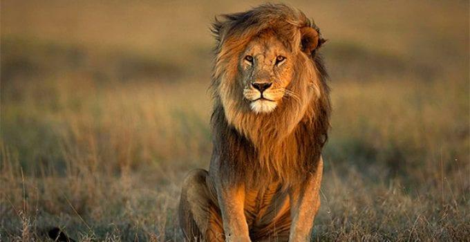 volontariato con i leoni