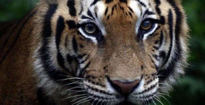 volontariato con le tigri