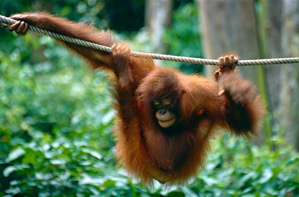 volontariato con orango tango