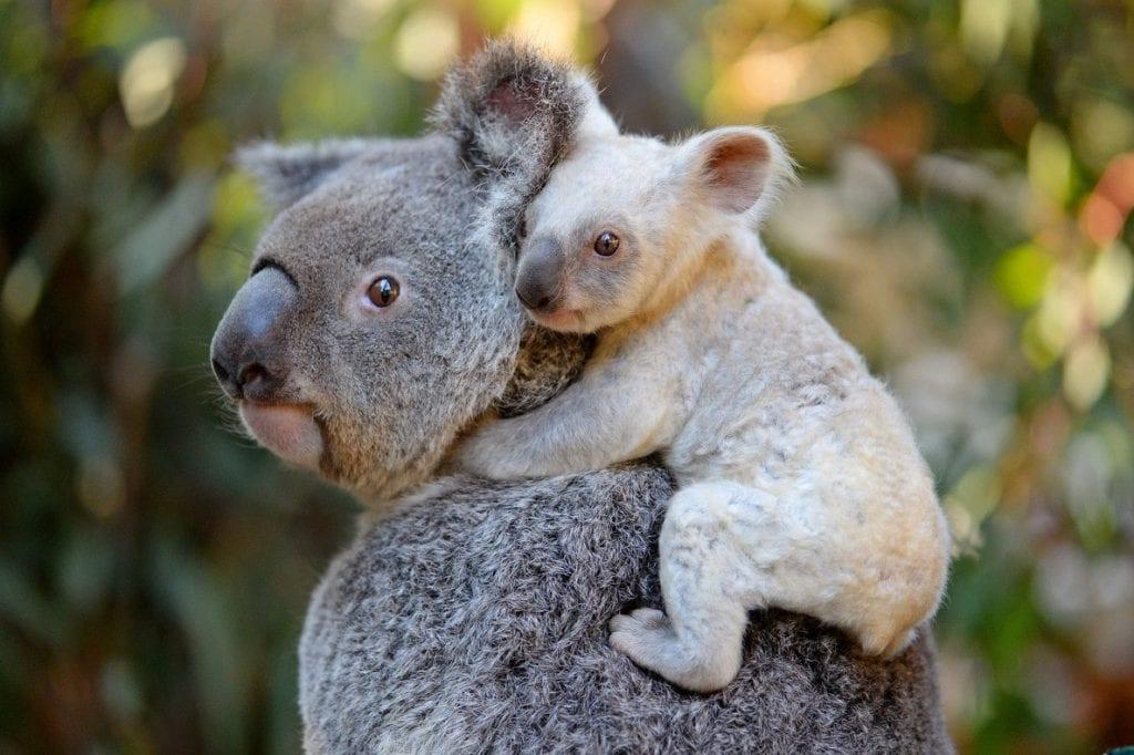 ecologia dei koala