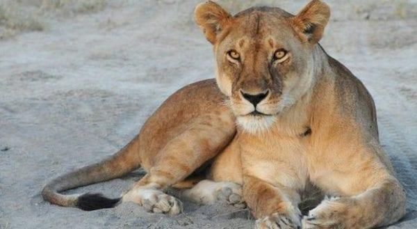 conservazione dei leoni