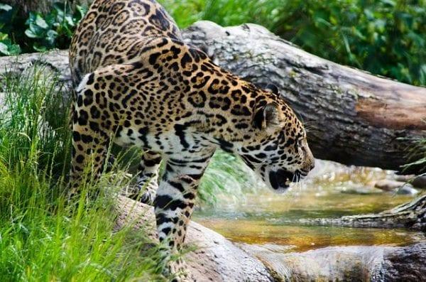 ecologia del giaguaro