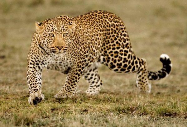 ecologia del leopardo