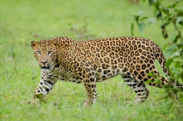 viaggi volontariato leopardo