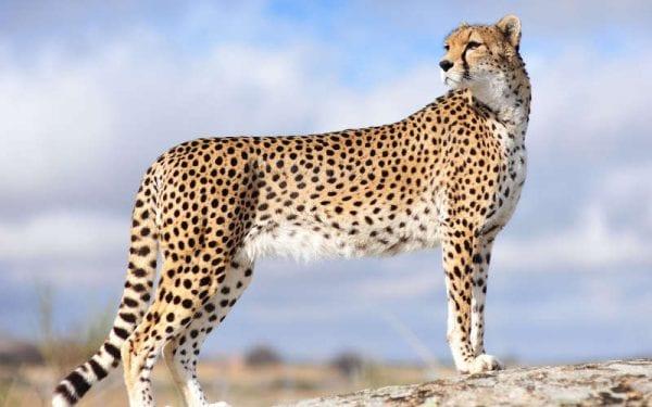 ecologia del ghepardo
