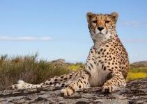 viaggio volontariato con i ghepardi