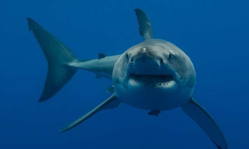 come salvare gli squali