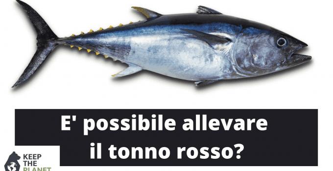 come allevare il tonno rosso