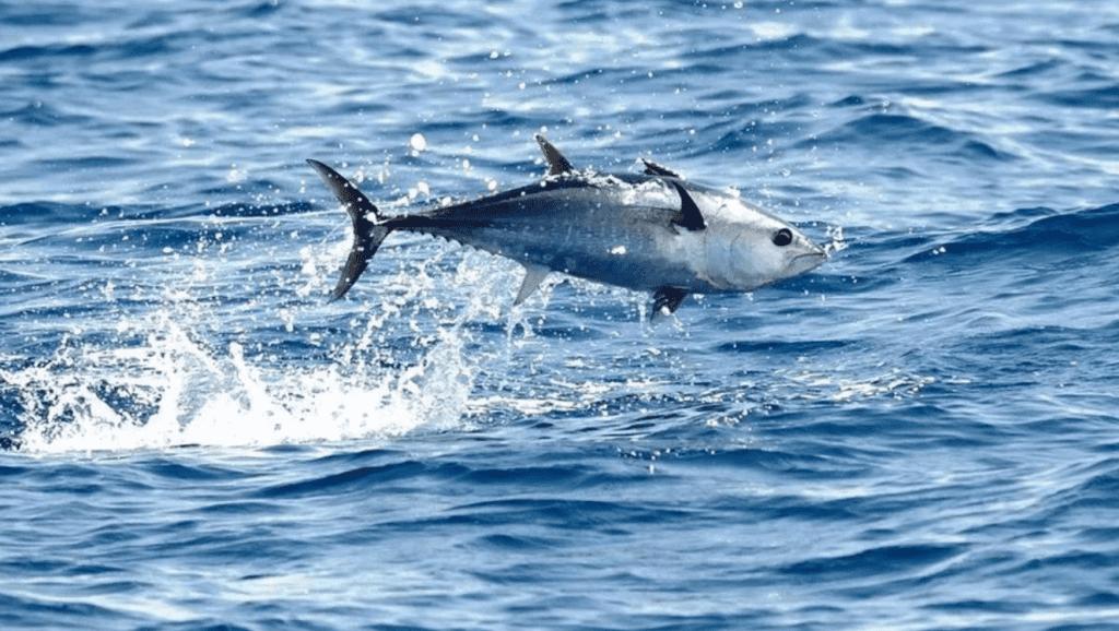 è possibile allevare il tonno rosso