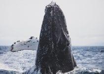 balene cetacei