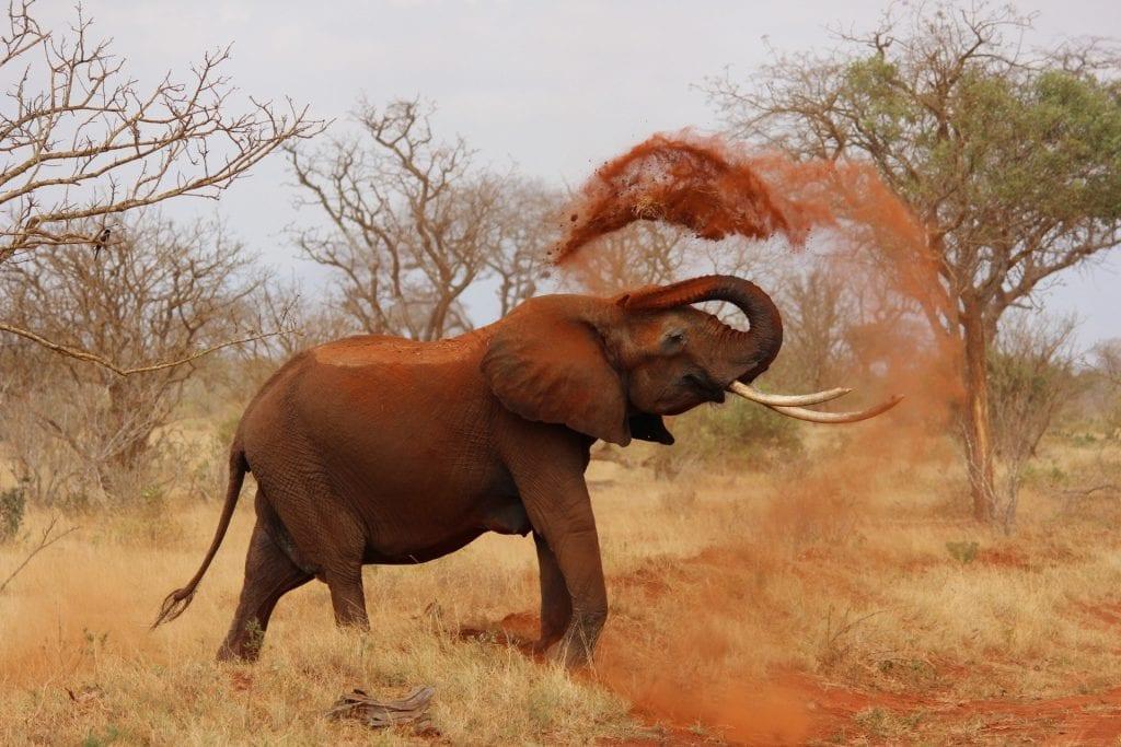 specie di elefanti
