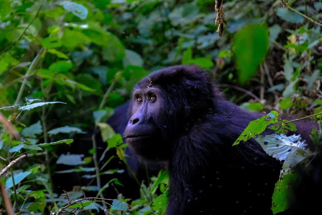 quanti gorilla rimasti