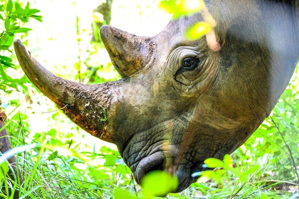 quanti rinoceronti sono rimasti
