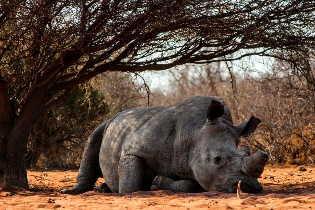 stato di conservazione rinoceronti