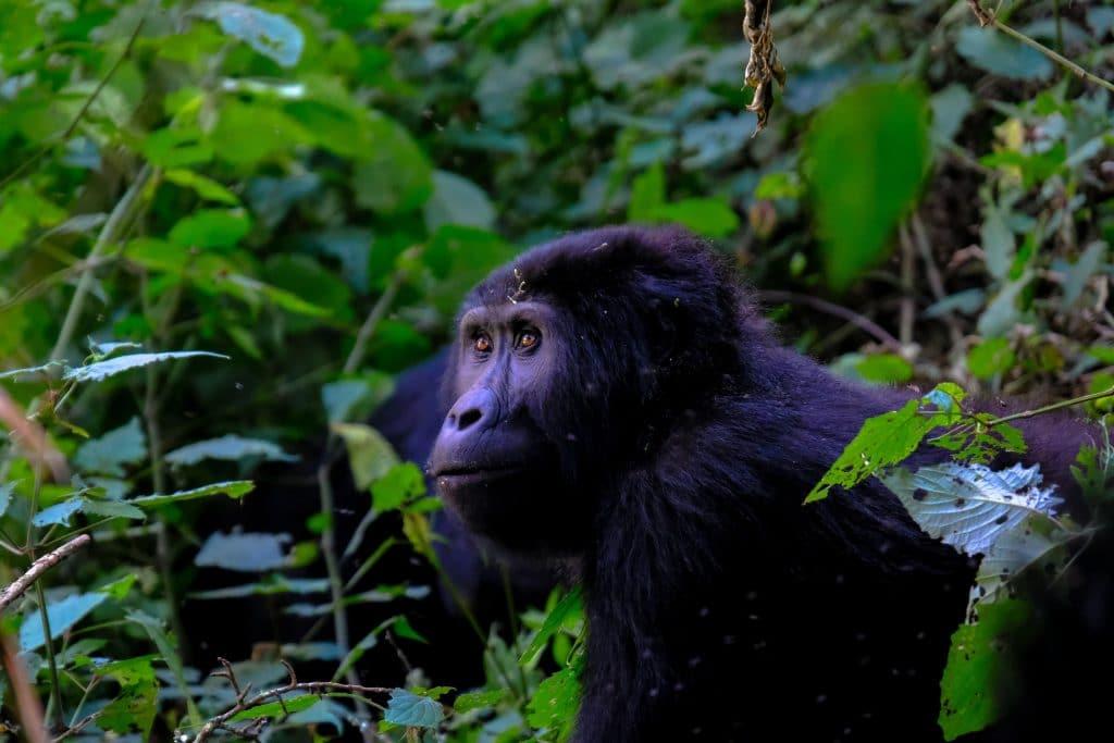 avvistare i gorilla