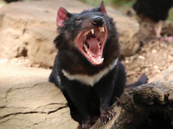 diavolo-della-tasmania
