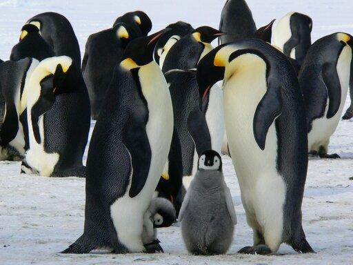 ecologia pinguini