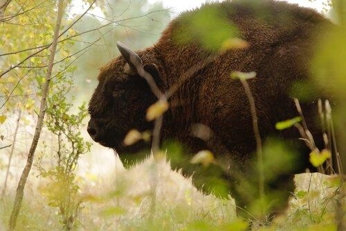 bisonte europeo conservazione
