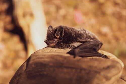 ecologia pipistrelli