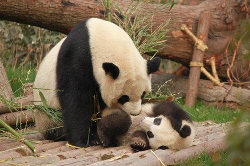 volontariato panda cina
