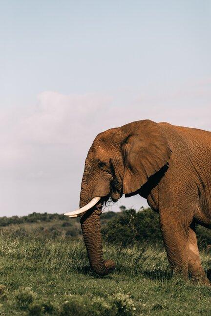 elefante di savana e di foresta